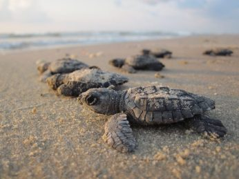 Volunteer: Baby turtles head to the sea.
